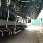 View of the cow standing from the exit end of the operator area